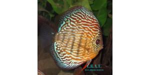 Голубой (Symphysodon aequifasciatus haraldi SCHULTZ,1960)