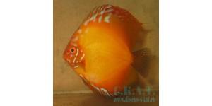 Красный дискус (Symphysodon aequifasciatus)