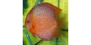 Красноточечные (Symphysodon aequifasciatus )