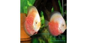 Открытый класс (Symphysodon aequifasciatus )