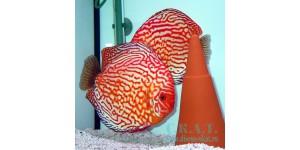 Голубиная кровь (Symphysodon aequifasciatus)