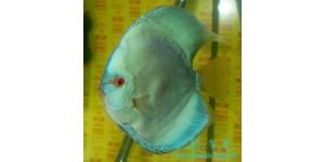 Сплошной туркис (Symphysodon aequifasciatus )