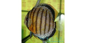 Зелёный (Symphysodon aequifasciatus aequifasciatus PELLEGRIN,1904)